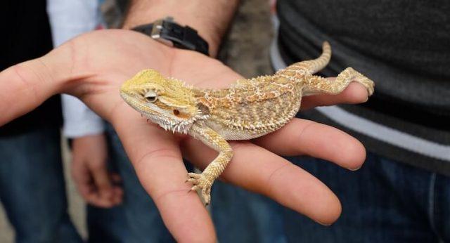 A hand holding a lizard